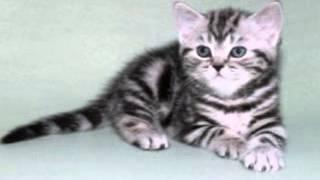 Британская кошка Изабелла. Isabella Kent Star