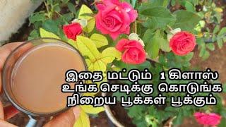 இதை மட்டும் 1 கிளாஸ் உங்க செடிக்கு கொடுங்க நிறைய பூக்கள் பூக்கும்   instant tonic growing more roses