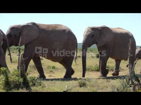 HERD OF ELEPHANTS PASSING BY IN ADDO...