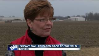 Rescued snowy owl released into the wild