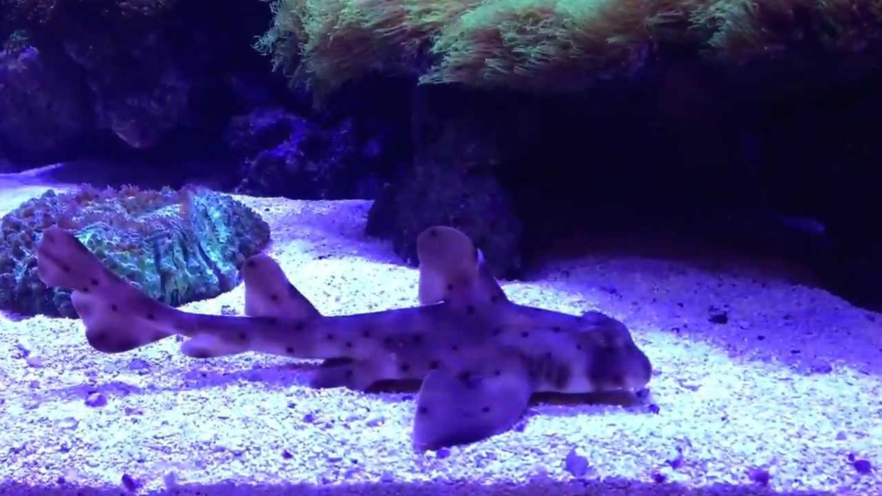 Saltwater aquarium horn shark 400 gallons youtube for Fish tank sharks