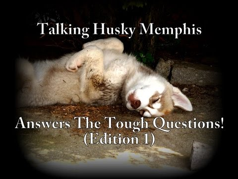 Talking Husky Memphis Answers The Tough Questions (Smart Dog - Funny)