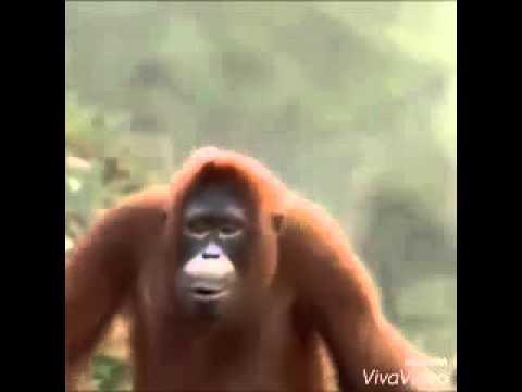 Gorilla lungi dance