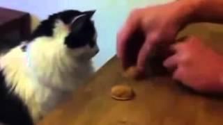 Приколы !!! Умнейшая кошка