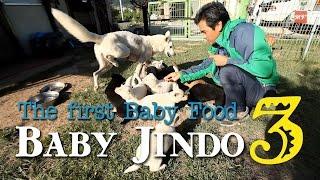 진도개(진돗개) 강아지 길들이기1 - Jindo Dog: The First Step For Training