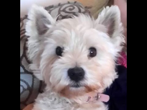 Cute Dog Bonnie The Westie Howling! - West Highland Terrier Misses Her Mom