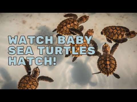 Baby Sea Turtles Hatching   Mission Unstoppable