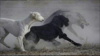 Охота на волка с тайганами
