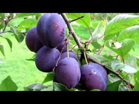 Слива: полезные свойства и противопоказания фрукта