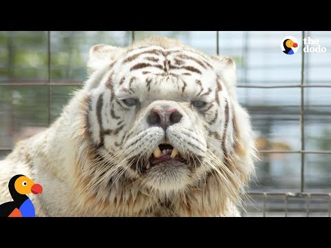 White Tigers Aren't A Real Species | The Dodo