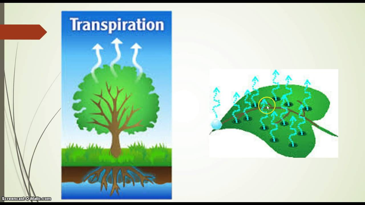 transpiration part of the water cycle youtube