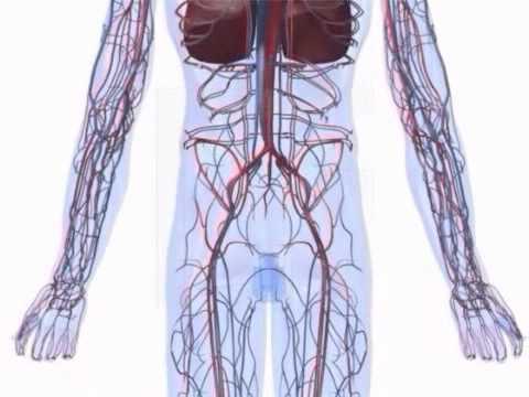 Herz- und Kreislaufsystem von der Mensch - YouTube