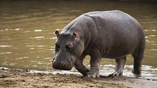 Самое опасное африканское млекопитающее. - Все обо всем