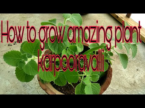 how to grow and Care and tips ajwain/karpooravalli/Indian borage