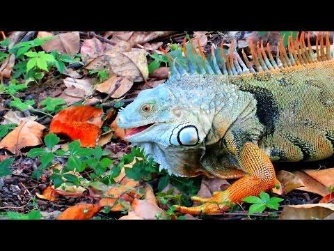 Green Iguana Feeding in Florida