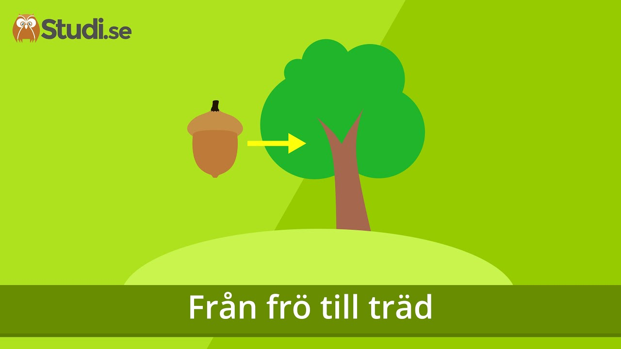 Från frö till träd (Biologi) - Studi.se