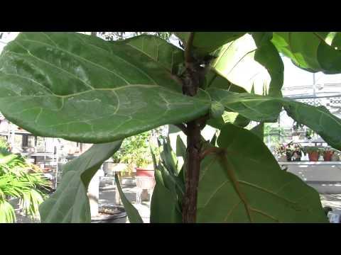 Tips for the Fiddle Leaf Fig