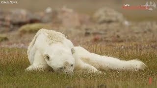 Viral video of starving polar bear breaks hearts around the world