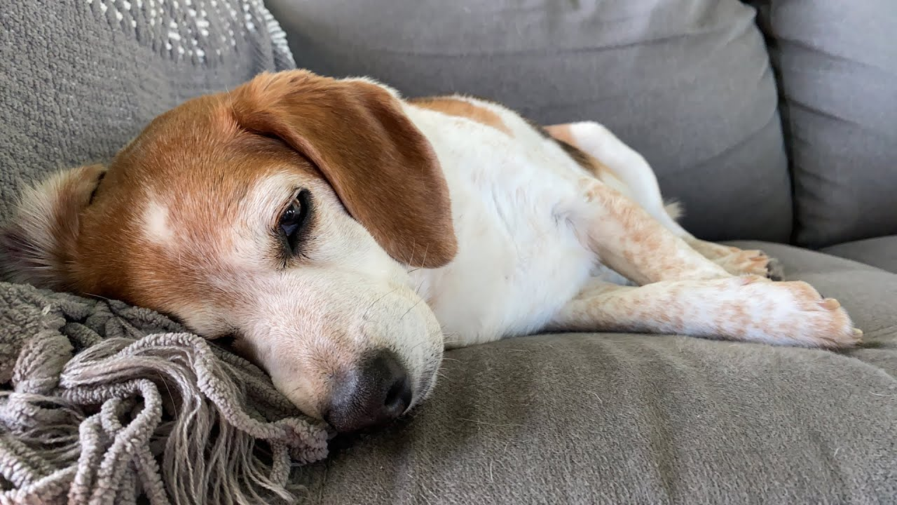 This senior beagle is having the most relaxing morning