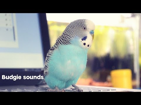 Budgie Sounds Meaning