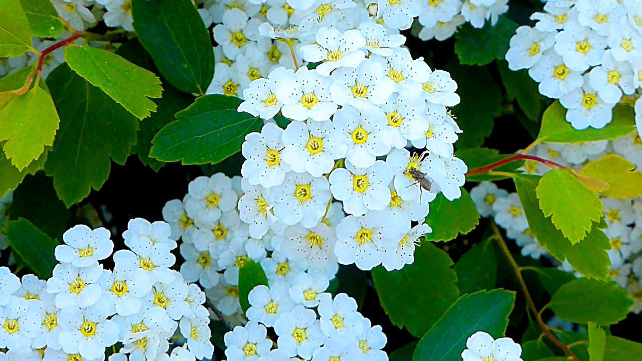 Цветы спирея фото