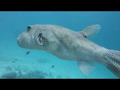 Swim With Giant Pufferfish