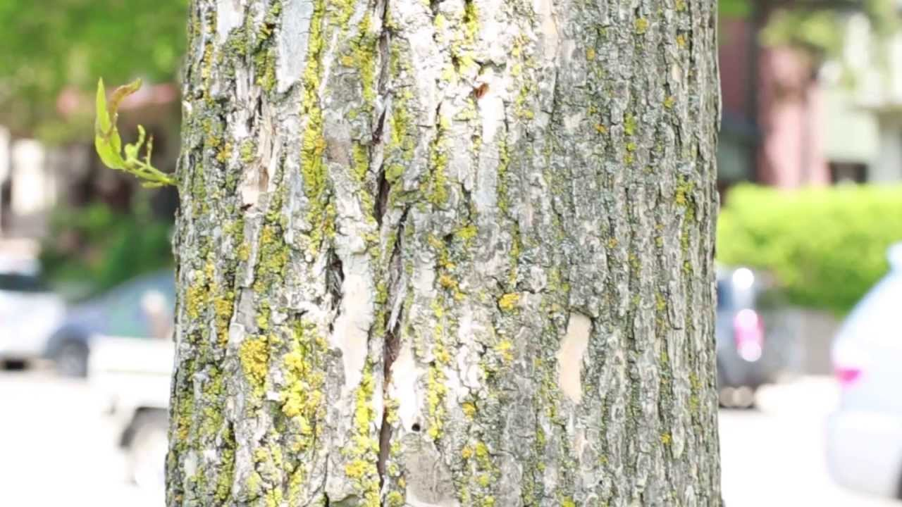 How to identify ash trees - YouTube