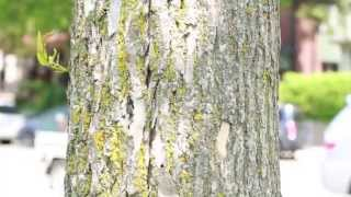 How to identify ash trees