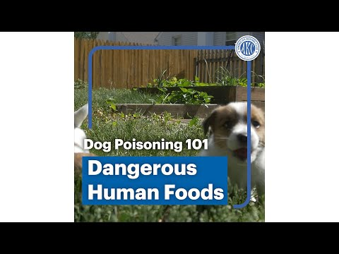 Dog poisoning 101 - Dangerous Human foods