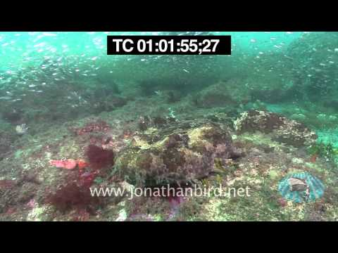 Spotted and Ornate Wobbegong Sharks stock video footage