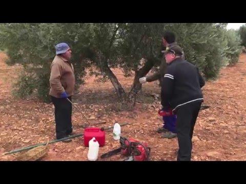 Poda olivo 2