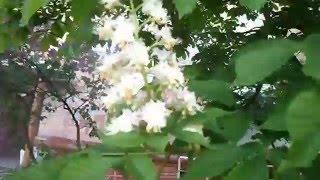 как цветут каштаны