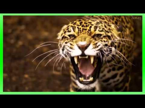 efeito sonoro de rugido de onça , pantera - sound effect jaguar roar, panther -  効果音ジャガー轟音、ヒョウ