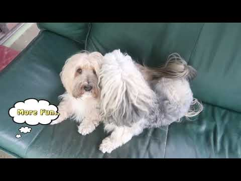 Bravecto Spot On Review by Havanese dogs