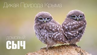Дикая природа Крыма. Домовые сычи / Little owl.