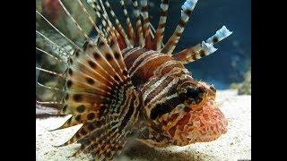 Опасные обитатели Cредиземного моря. Морской еж, морской дракон, скорпена.