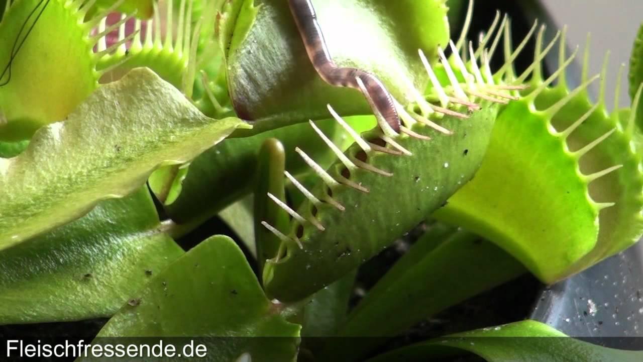 Venus Fly Trap Eats Worm