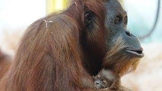 erste Bilder: Sumatra-Orang-Utan Baby @ Tierpark Hellabrunn, München
