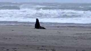 Seal Escaping Rough Seas (Gearhart, Oregon)