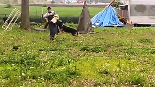 ALSOK北関東綜合警備保障 警備犬 ジャーマンシェパードドッグ 翔くん 県...