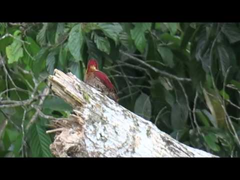 banded woodpecker in borneo
