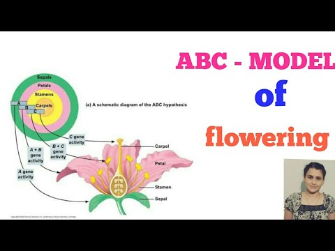 ABC--MODEL of flower development in arabidopsis thaliana in hindi