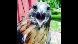 How a red tailed hawk says hello