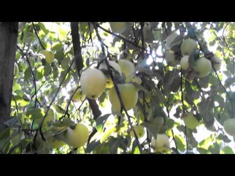 База данных сортов яблони • ВНИИСПК