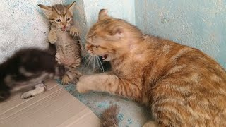 Mother Cat Attacking On Rescue Kitten Even Her Own Kitten Got Scared || Introduction Went Wrong ||