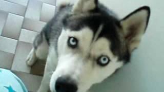Siberian Husky Kira