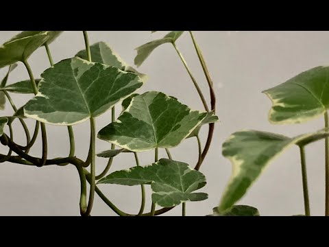 My Variegated Ivy Plant: So Misunderstood! (& CARE TIPS!)