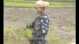 Paddy or rice cultivation in north-east India