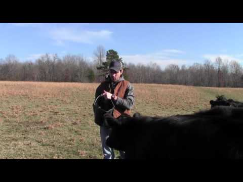 How much hay should I give my cattle?