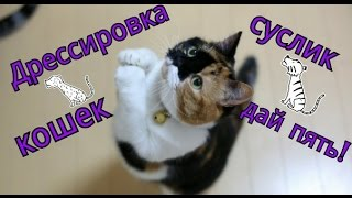 Дрессировка кошек | Обучение командам: Суслик или Зайка,Дай пять.